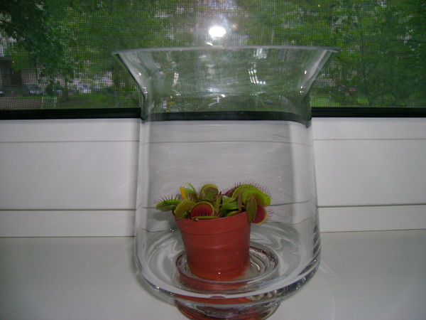 Чем кормить венерину мухоловку в домашних условиях