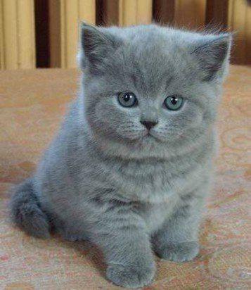 котенок дымчатый kitten smoky  № 2344474  скачать