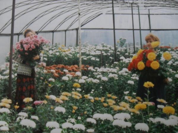 Выращивание хризантем в теплице 48