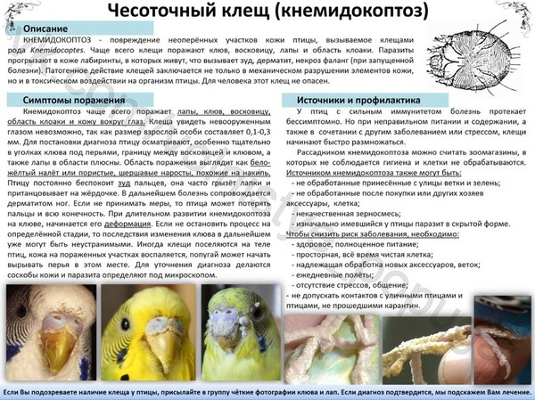Как лечить клеща у попугаев в домашни условиях