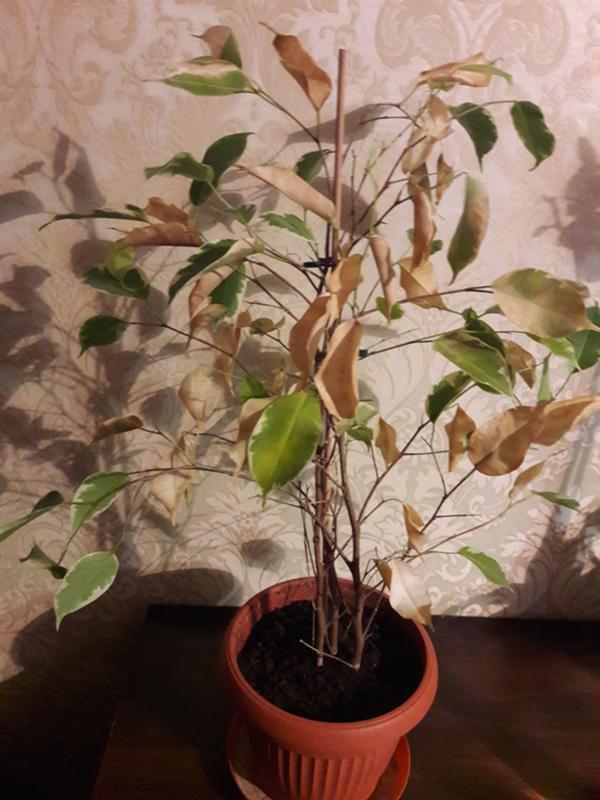 Выращивание фикуса опадают листья 641