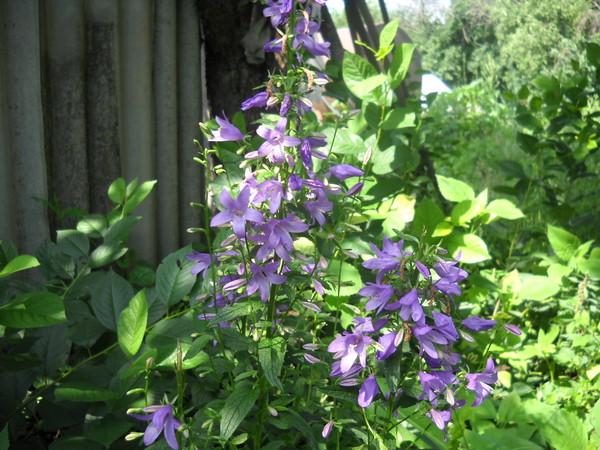 Какие многолетние цветы растут в тени