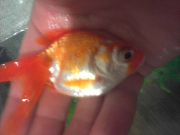 Беременная золотая рыбка как выглядит 83