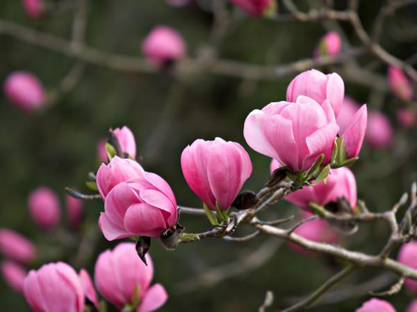 Магнолия  magnolia 2000  или скачать