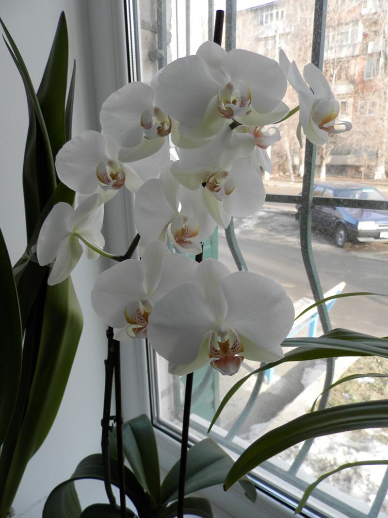 Сколько раз в неделю поливать орхидеи в