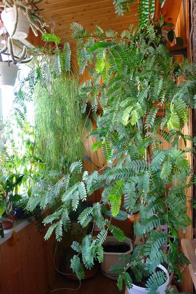 Тамаринд выращивание в домашних условиях фото
