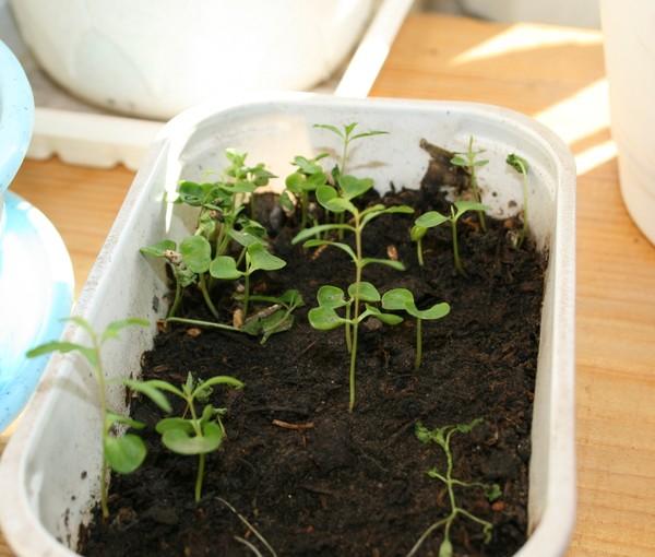 Как вырастить малину из косточки в домашних условиях