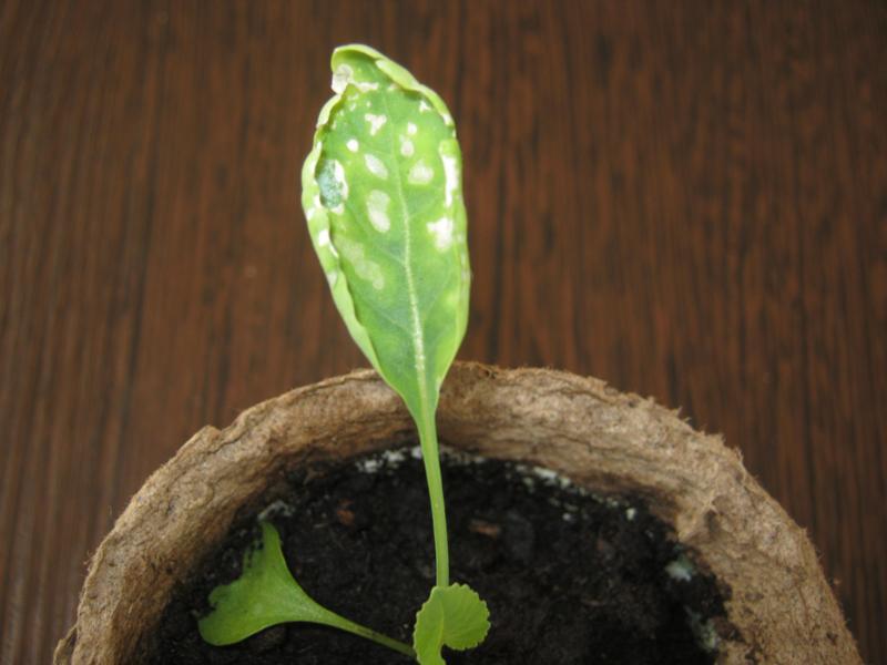 Болезни рассады цветной капусты 43