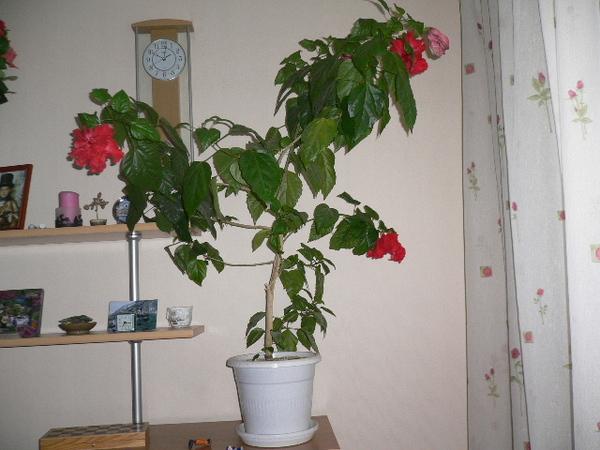 Почему не растет китайская роза в домашних условиях