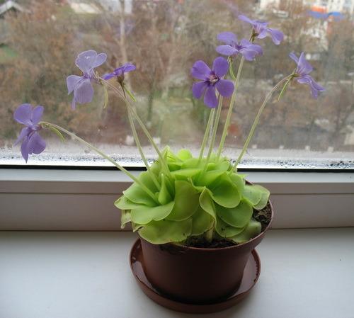 Плотоядное растение в домашних условиях