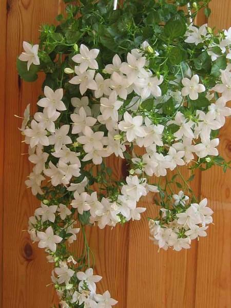 Домашние цветы цветущие белыми цветами