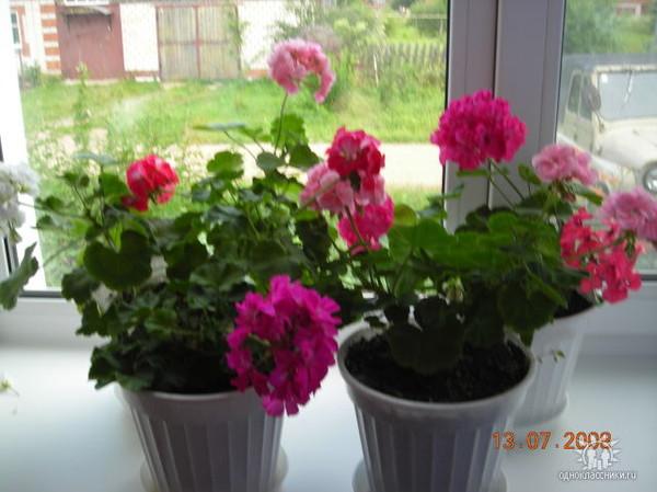 Можно ли в один горшок сажать разные цветы 60
