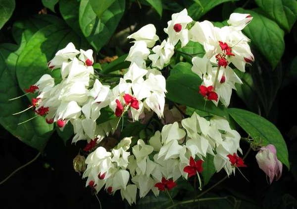 Комнатные цветущие белыми цветами