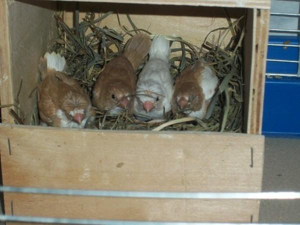Гнездо для амадин фото