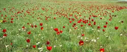 Фото лазоревого цветка