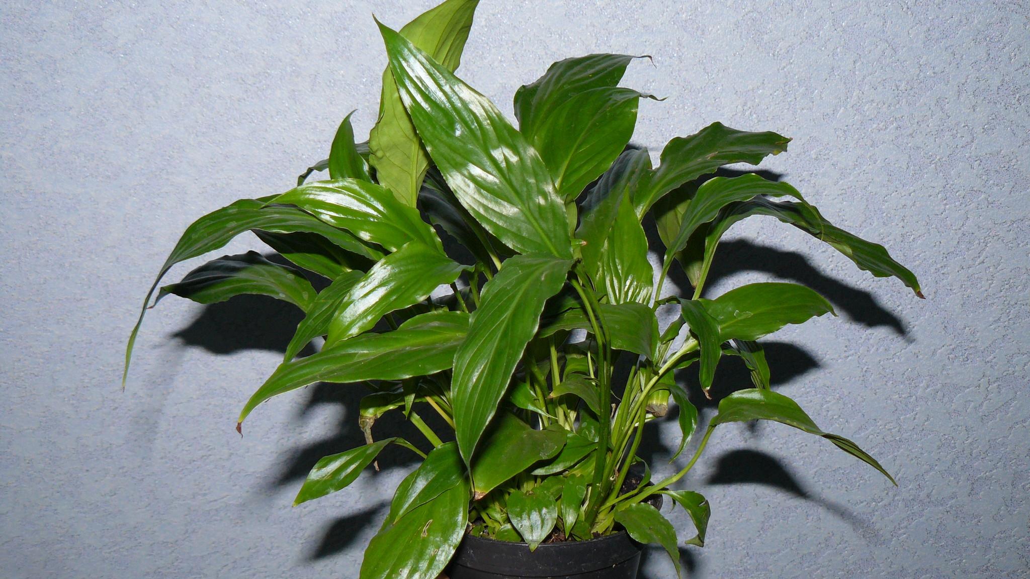 Влаголюбивые комнатные растения Декоративные растения - описания 18