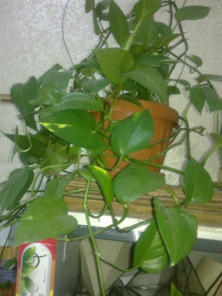Комнатные цветок лиана
