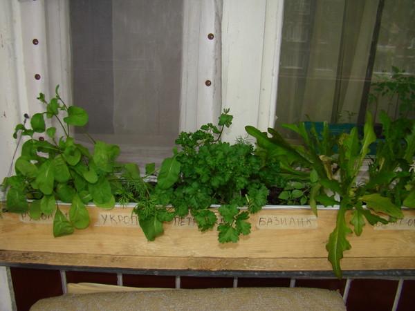 Выращиваем руколу в домашних условиях