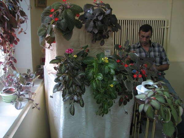 Эписция цветок комнатный