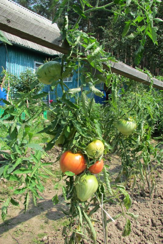 Грунтовые помидоры выращивание 17