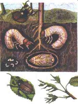 Личинка медведки или майского жука