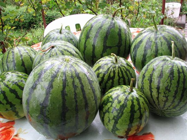 Выращивание арбузов в центральной россии 61