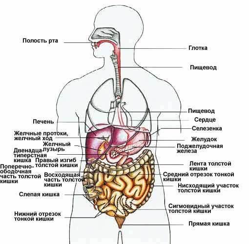 где находится желудок и как болит