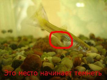 Петух рыба изменил окрас