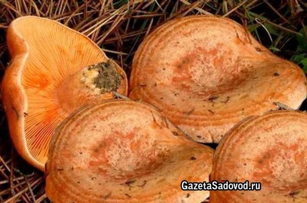 Как выглядят грибы рыжик