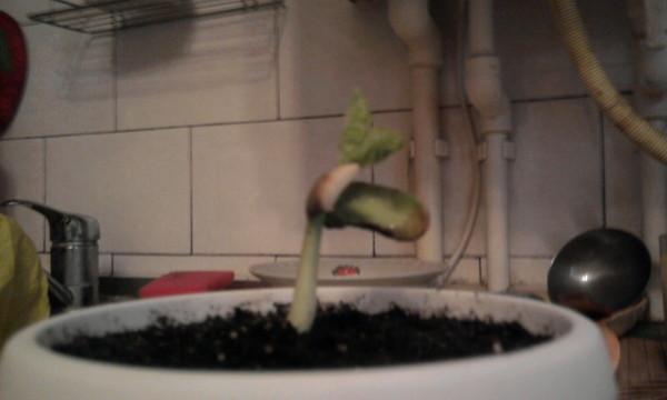 Как посадить в домашних условиях фасоль