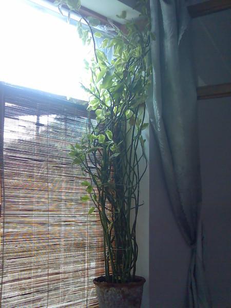Почему у педилантуса опадают листья