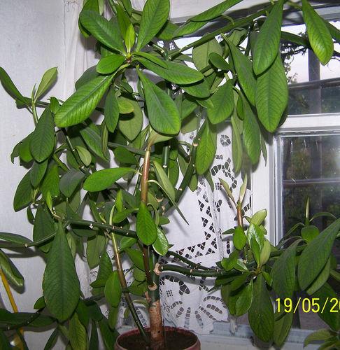 Комнатный цветок похож на дерево