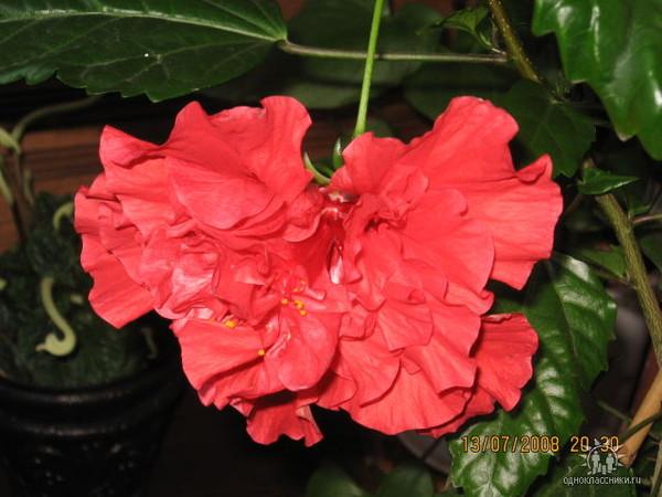 Китайская роза как сделать чтобы зацвела - Компания Экоглоб