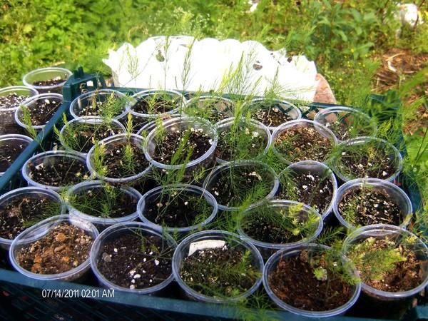 Выращивать спаржу домашних условиях