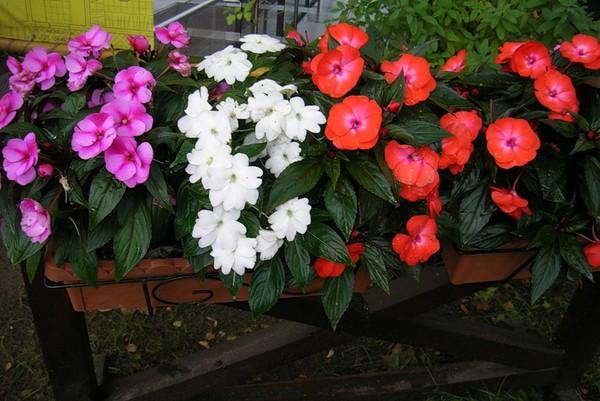 Однолетние цветы бальзамин