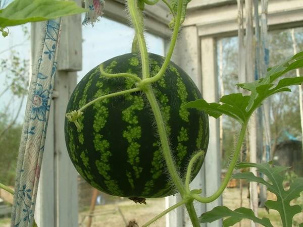 Можно ли вырастить дыню в домашних условиях