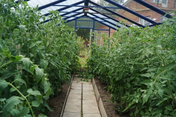 Можно ли сажать табак с помидорами 26