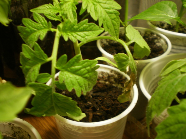 Что делать если листья рассады помидор желтеют и