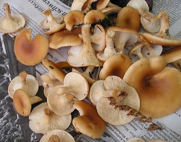 Как приготовить гриб говорушка