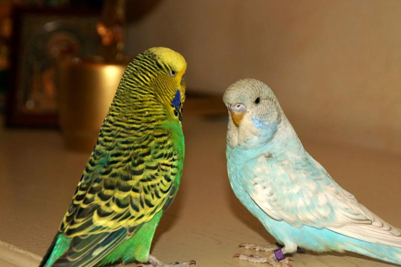 Большой волнистый попугайчик