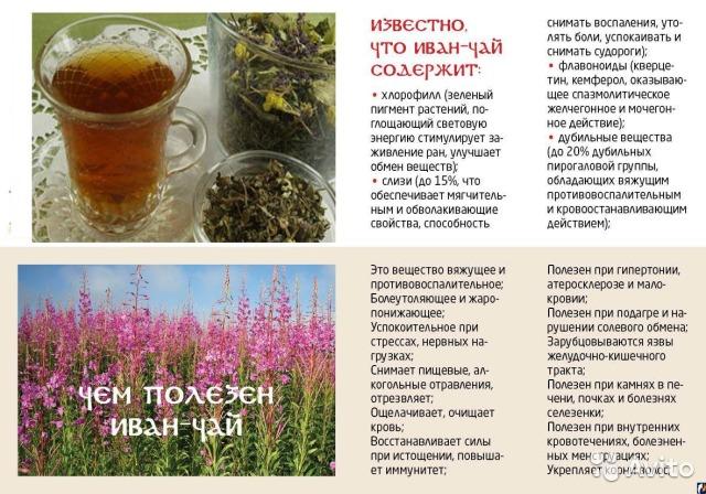 Чай в россии где растет в