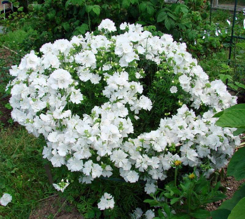 Вишня магалебская невеста в белом выращивание из семян 76