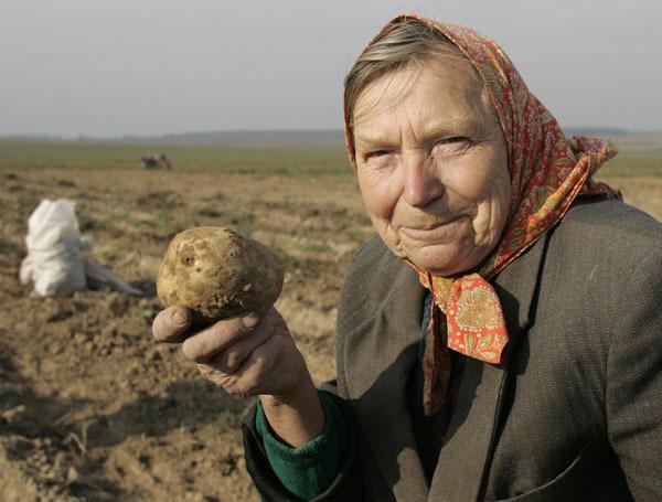 Здорово бабуля картошку сажаю 496