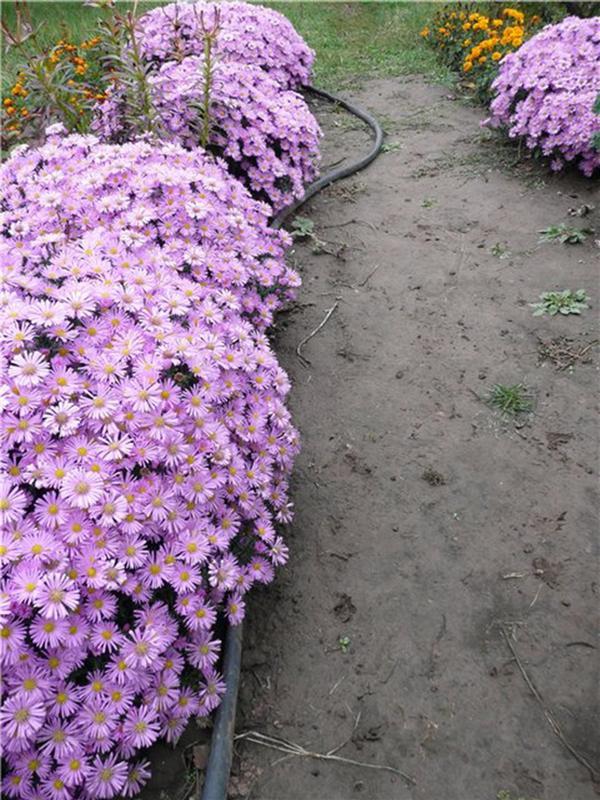 Цветы бордюрные низкорослые многолетники
