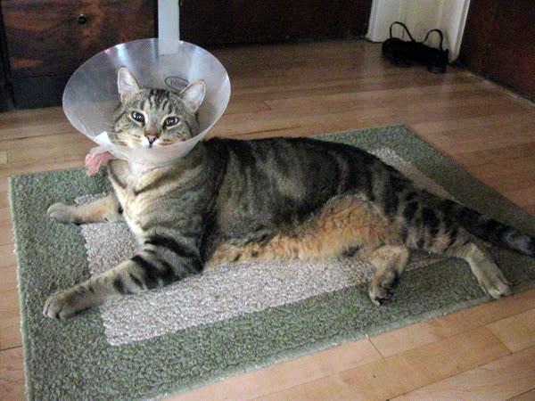 Защитный воротник у кошки