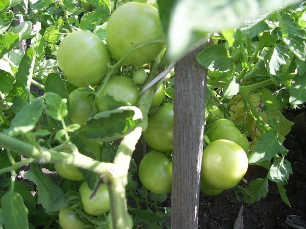 как дозревать помидоры дома видео
