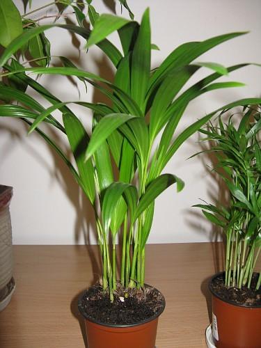 обряды сохнет хризолидо карпус пальма вышестоящим