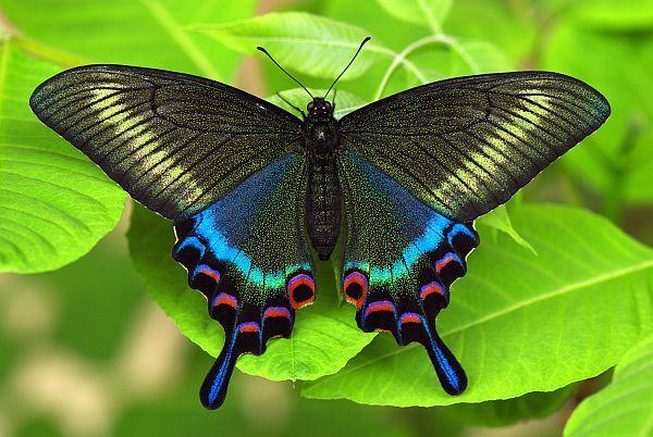 Самый красивая бабочка в мире