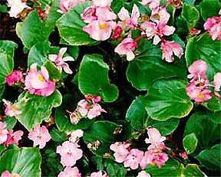 Бегонии с мелкими цветами