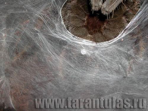 sperma-kak-pautinka